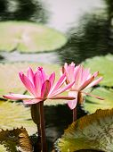 Pink Lotus In Nature