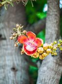 foto of cannonball-flower  - Canonball flower in nature in vertical background - JPG