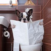 picture of poo  - French bulldog sitting on toilet and reading newspaper - JPG