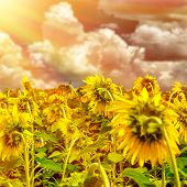 Sunflower field on sunset, ripe sunflowers field, beautiful big yellow flowers, Europe in autumn, cultivated land of Tuscany, Italy's food industry