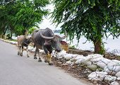 Buffalo On Road In Irrawaddy River