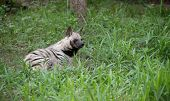 picture of hyenas  - this is striped hyena the african wildlife