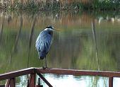 Blue Heron On Rail Horizontal