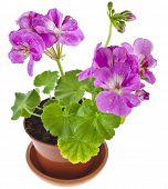 Pink geranium flower in a clay pot isolated on white background