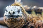 Close up portrait of male marine iguana, endemic of Galapagos islands, Ecuador