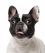 French Bulldog (2 years old)