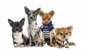 Group of Chihuahua sitting