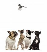 image of envy  - French Bulldogs looking with envy at a bird flying - JPG