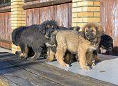 Puppies Breed Tibetan Mastiff