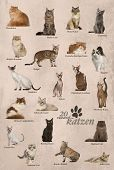 foto of american bombay  - Cat breeds poster in German - JPG