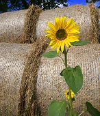 Sunflower in front of bales of straw