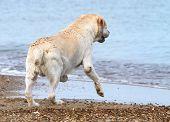 Labrador Running To The Sea