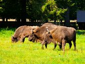 European Wood Bison Herd