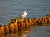 Masurian Seagull