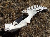 Deer Spines