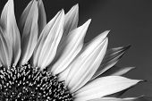 beautiful sunflower detail in black and white.