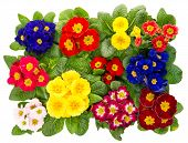 Spring Primula Flowers Isolated On White