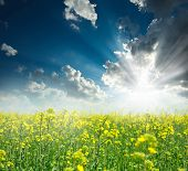 picture of rape-field  - Blooming field of yellow rape at sunrise on the background of sky - JPG
