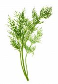 Closeup Of Dill Herb Leaf Isolated On White