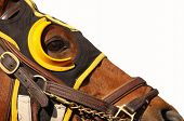 image of horse face  - Close up face of race horse with bridle and hood on white background with copy space - JPG