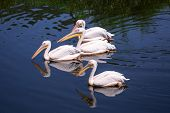 Great white pelicans in wildlife