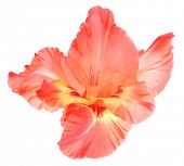 stock photo of gladiolus  - beautiful gladiolus flower - JPG