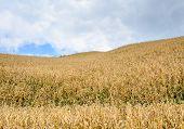 Corn Field On Hill