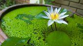 White Lotus, Full Bloom
