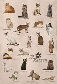 stock photo of american bombay  - Cat breeds poster in German - JPG