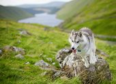 foto of husky sled dog breeds  - portrait of Siberian Husky dog, Talla, Scotland, UK