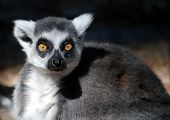 stock photo of nose ring  - Ring Tail Lemur stares intensely at the photographer - JPG