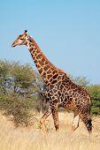 A large bull giraffe (Giraffa camelopardalis) in natural habitat, South Africa