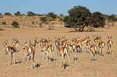 A herd of springbok antelopes (Antidorcas marsupialis), Kalahari desert, South Africa