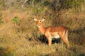 A male impala antelope (Aepyceros melampus) in natural habitat, South Africa