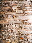 image of birching  - Birch bark taken in an old growth birch forest on the west coast of Scotland - JPG