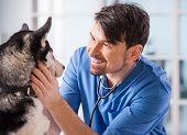stock photo of husky  - Veterinarian is examining a cute siberian husky at hospital - JPG