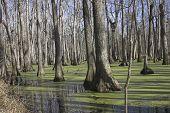 Cypress Swamp 2
