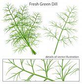 Green dill. Vector illustration.