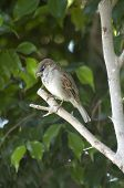 sparrow on a tree