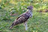 image of hawk  - Changeable hawk - JPG