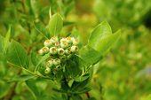 Unripe Blueberries