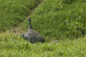 picture of guinea fowl  - The Helmeted Guineafowl - JPG
