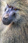 Head View Of Anubus Baboon In Tarangire National Park, Tanzania