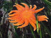 Orange Sunstar