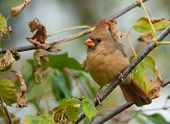stock photo of cardinals  - A subtly beautiful female Northern Cardinal perches on a branch as she appoaches a Wisconsin feeding station on an early autumn day - JPG