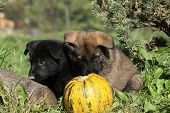 Two Nice Puppies With Pumpkin