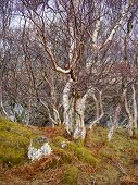 Ancient Beech Wood