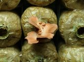 foto of spawn  - Pink oyster mushroom  - JPG
