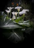 Group Of Calla Lilies