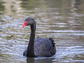 stock photo of black swan  - Black Swan spotted in London - United Kingdom ** Note: Visible grain at 100%, best at smaller sizes - JPG